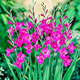 BRECK'S Byzantinus Gladiolus Early Summer Flowering Bulbs - Each Offer Includes 20 Bulbs