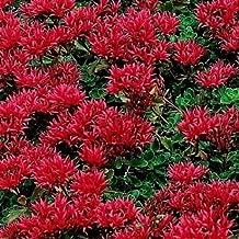 Red Sedum Seeds, Dragon's Blood, Red Flowering Ground Cover Seed, Heirloom 50ct