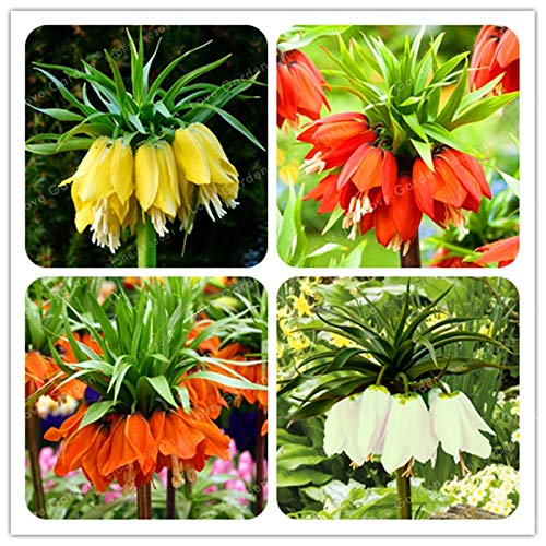 Pinkdose 30 PCS Kaiserkrone Anlage Wang Fritillaria Anlage einfach zu wachsen Home Garten Bodendecker Pflanzen Seltene Pflanzen Bonsai leicht wachsen sehen: MIX
