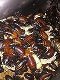 Honeybees100 Madagascar Hissing Cockroach 12 Adult Starter Colony (Gromphadorhina portentosa)