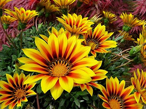 Mittagsgold 10 Samen 'Big Kiss Gelb 'Blüten sind bis zu 50% größer (Gazania Orange)