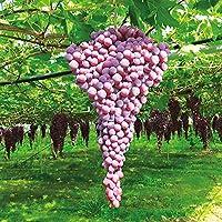 ブドウ苗 紅三尺ぶどう(巨大房ぶどう)【果樹苗 10.5cmポット挿し木苗/お買い物2個セット】ポット苗なので年中植付け可能!落葉時期は葉がついていません【即出荷】