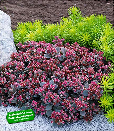 BALDUR Garten Sedum Sun Sparkler® Sedoro Blue Elf, 2 Pflanzen winterhart Fetthenne Garten Fettblatt