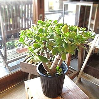 お金のなる木 花月 成金草 5号鉢サイズ 鉢植え