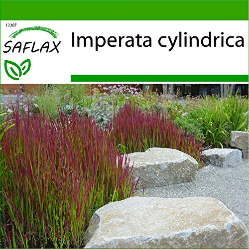 SAFLAX - Gräser-Bambus-Japanisches Blutgras - 50 Samen - Mit keimfreiem Anzuchtsubstrat - Imperata cylindrica
