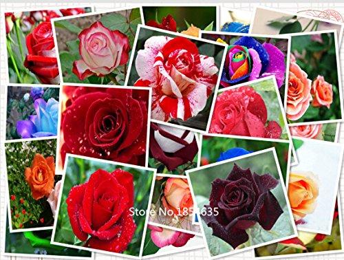 Jardin des Plantes de nouvelles promotions d'arrivée Plantes d'extérieur fleurs graines régulières végétales Novel Exclus Petit Pots Jardinières 100 graines - ros