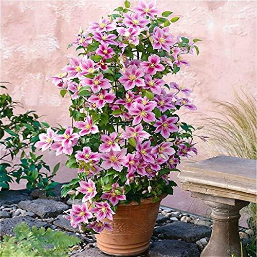 2 X Clematis Piilu (Waldrebe) - Lavendelrosa/Pink | 2-er set Mehrjährig blühende Kletterpflanze -...