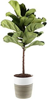 Costa Farms Fiddle Leaf Fig Live Indoor Ficus Lyrata, 4-Foot, White -Natural Textured Décor Planter