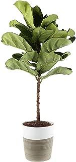 Best fiddle leaf fig san antonio Reviews