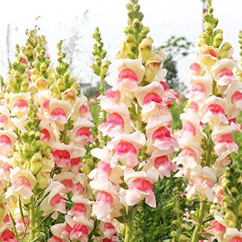 100 Pcs muflier Majus Graines Mixte nain Couleur commune snap Graines de fleurs Jardin Accueil Plantes Bonsai pot So Beautiful 5