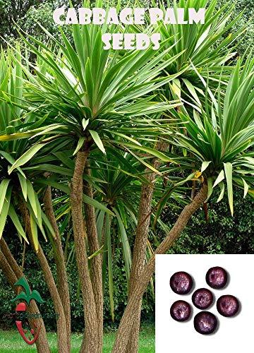 Germination Les graines: 10 Chou Palm Graines, (Sabal Palmetto) de la prématernelle cueillies à la Main
