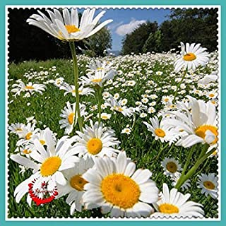 1 Package 400 Shasta Daisy Seeds Lower Seed Bonsai Plant Home Garden