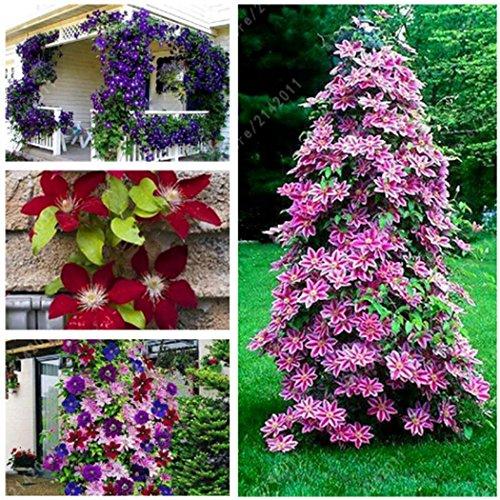 Acecoree Samen- 50 Clematis Kletterpflanzen clematis Blumen immergrün winterhart mehrjährig Blumensamen Mischung Blumen Saatgut Sedum Blumensamen bis zu 1.7 Meter (#02)