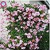 100pcs/sac d'escalade graines Mandevilla Sanderi, graines de DIPLADENIA, Bonsai Fleur des plantes pour la décoration maison et pot mur de la cour #3