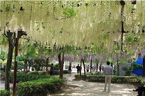 40 pcs 4 couleurs de Graines Wisteria fleur, pourpre rose jaune Wisteria Seeds, + cadeau mystérieux, les graines de bonsaï,