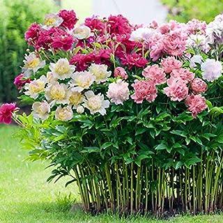 QHYDZ Garden-50pcs Raras Semillas de Peonía Semillas Flores