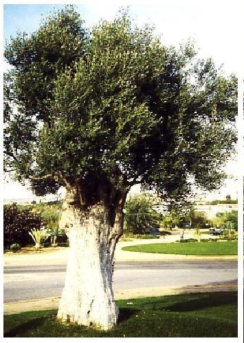 TROPICA - Olivier (Olea europea) - 20 graines- Méditerranée