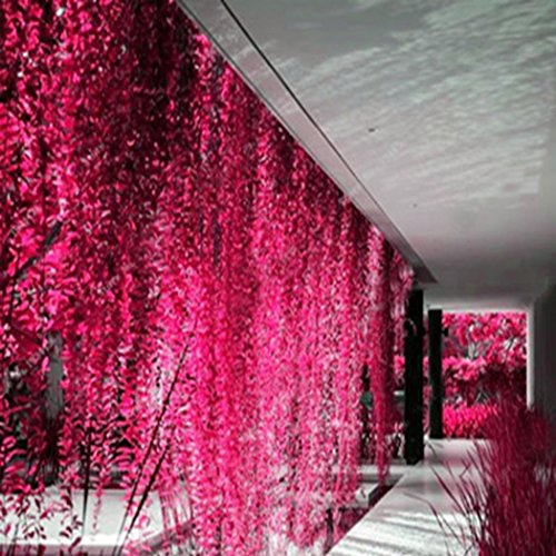 Yukio Samenhaus - 50pcs Rarität Erbsenpflanze hängend - Perlenschnur als Ampelpflanze am Fenster, Pflegeleichte Sukkulente Zimmerpflanze Blumensamen Mischung winterhart mehrjährig