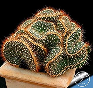 Flower Bonsai - Big 10bonsai/Pack Cactus Rebutia Variety Flowering Color Cacti Rare Garden Office Mini Plant Succulent,#83jwhx(Seed) - by Abuldahi
