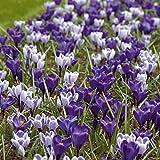 AIMADO Samen-50 Pcs Krokusse-Mix 'Blue-White' Blumensamen blau mehrjährig winterhart Garten Blumen Krokusse Samen ideal für Rabatte, Blumenbeete und Steingärten