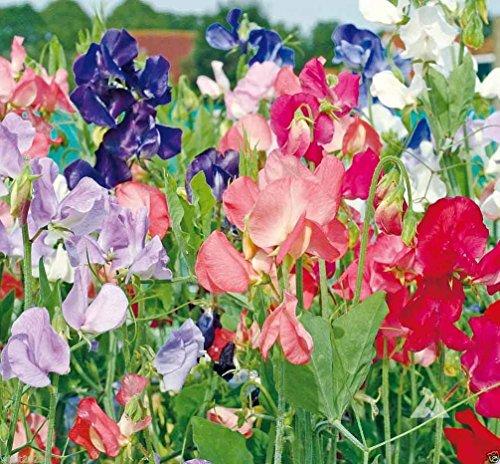 50 graines « Early Multiflora mixte » annuelle Pois de Senteur Lavande/rose / violet/rouge / saumon/blanc