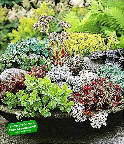 BALDUR Garten Winterharte Sedum-Mischung, 6 Pflanzen, Fetthennen Hauswurz Stauden Sortiment, mehrjährig