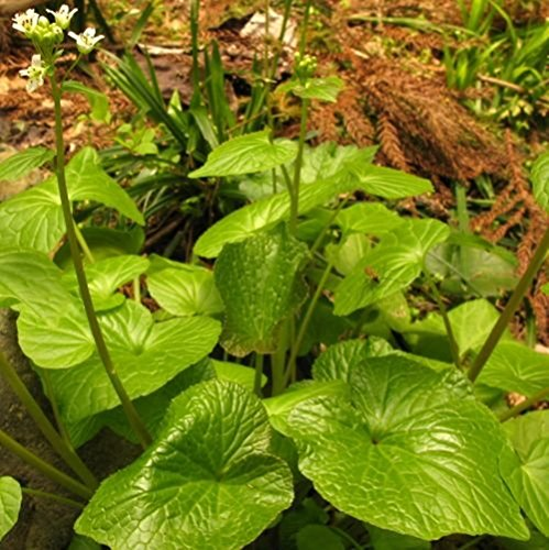 Wasabi seeds - - 50 semillas
