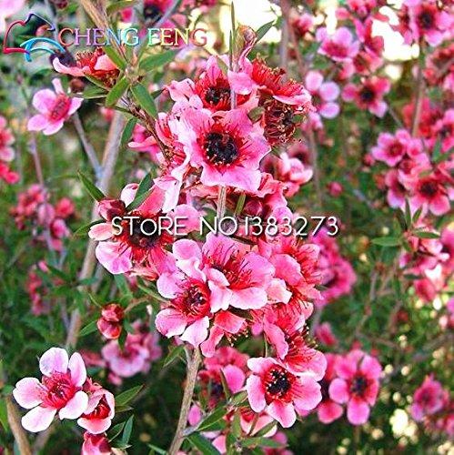 30pcs / bag Rare Südseemyrte Blumensamen Erstaunlicher Garten Bonsai Pflanze Baum Blumensamen Geschenk für Hausgarten
