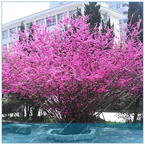 ShopMeeko GRAINES: ZLKING Bauhinia Cercis bonsaïs 50pcs Gainier Nature des plantes en pot pour le jardin à la maison