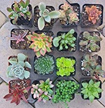 1pcs Succulents Potted Succulent Many Varieties Rooted Plant (Kalanchoe Orgyalis)