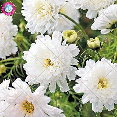 100pcs Rare Bonsai Double Cosmos Graines de fleurs vivaces plantes à fleurs en pot pour jardin Facile à cultiver 9