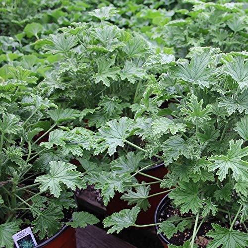 Geraniums Citronella - 4.5' Pot - 3 Pack - Live Plants