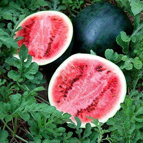 25+ Bush Art Premium-Sugar Baby 'Ice Box' Wassermelone Samen-D 115