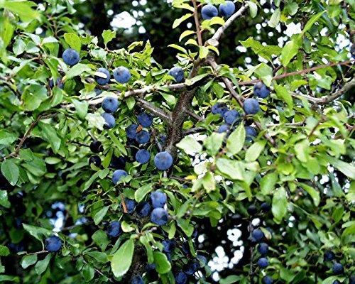 Schlehe Schlehdorn Schwarzdorn Prunus spinosa Containerware 60-100 cm