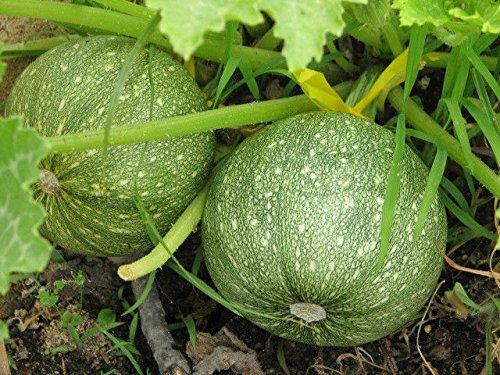 cylindrica moschata graine citrouille 10 citrouille graine Long Island Cheese citrouille