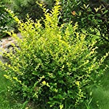 200pcs Winterberry Holly Seed, Ilex Verticillata, Shrub Seeds - Evergreen Shrub with Glossy Green Foliage