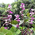 Outsidepride Hyacinth Bean