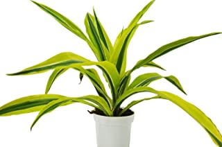 Dracaena Deremensis 'Lemon Surprise' - Free Care Guide - 4