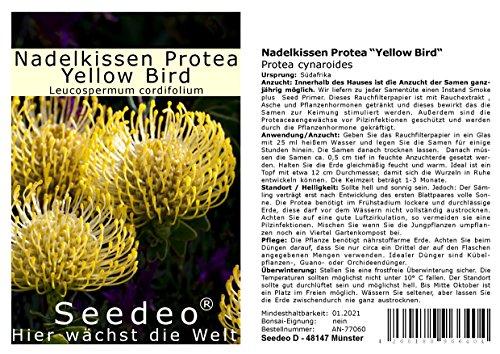 Seedeo® Nadelkissen Protea Yellow Bird (Leucospermum cordifolium) 7 Samen mit Smoke-Primer zur Keimverbesserung
