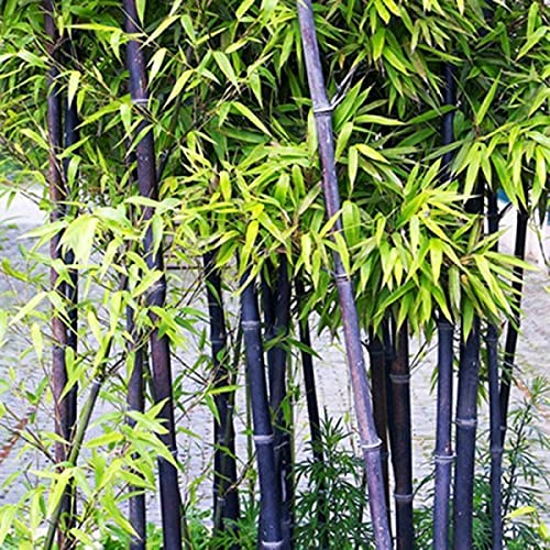 200+ Black Bamboo Seeds Fast Growing Trees for Privacy Plant Seeds for Outdoor
