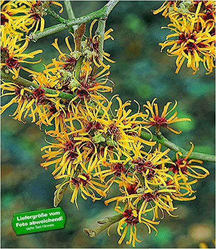 BALDUR Garten Zaubernuss, 1 Pflanze Hamamelis mollis Pallida Winterblüher winterhart