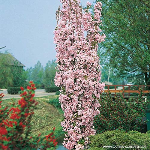 Yukio Samenhaus - 10pcs Raritäten Säulen-Zierkirsche duftend Baum Saatgut immergrün Blumensamen winterhart mehrjährig