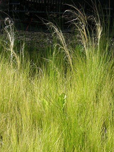 Stipa tenuissima - Zartes Federgras, 24 Pflanzen im 5/6 cm Topf