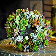 Shop Succulents | Decorative Wreath of Live Succulent Plants, Hand Selected Variety, Measures Approx 8-10""