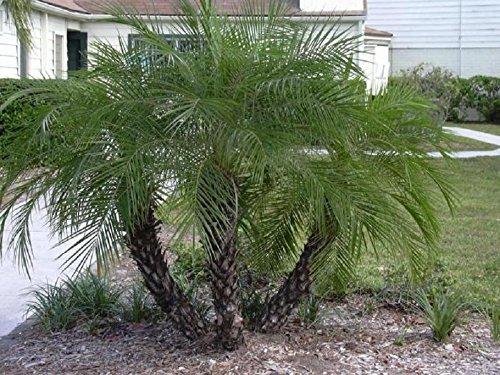 凤凰树、矮枣棕榈、外来珍稀棕榈半种种子50粒