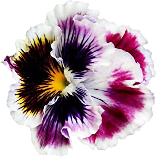 Ruffled Blossom Frills Pansy Seeds UPC 600188195187 + 1 Free Plant Marker (60)