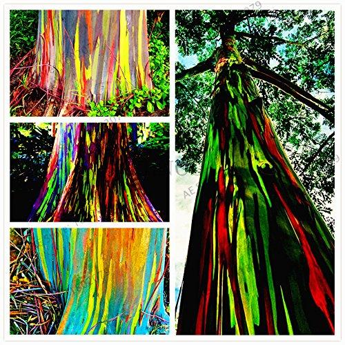 100pcs/bag rari semi deglupta Arcobaleno di eucalipto, vistosi semi di albero tropicale, pianta di eucalipto per pianta da giardino