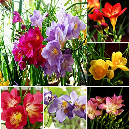 200 Unids Freesia Semillas Perfume Flor Planta Perenne Hogar Jardín Bonsai Decoración Semillas De Plantas De Jardín Semillas de fresia *