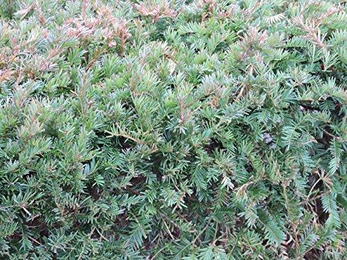 10 Stück Heimische Eibe (Taxus baccata) im Topf 15-30cm