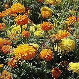 SEEDVALLEY Semillas Omaxe Marigold Rodeo Real Mix